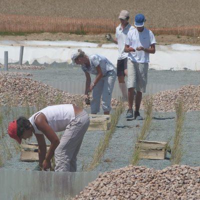 plantation_phragmites_002_entreprise_collectivite_ferme_de_chosal